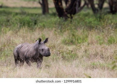 Rhinoceros calf in the Lake Nakuru National Park, Kenya