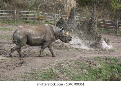 Rhinoceros in captivity