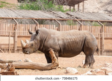 Rhinoceros (Ceratotherium simum) also known as square-lipped rhinoceros living in natural habitat in a safari.