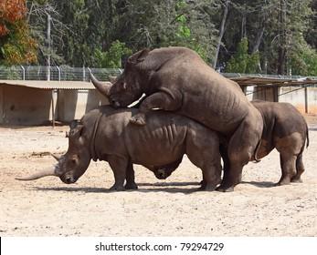 rhinoceros (Ceratotherium simum) mating in the nature reserve in Israel