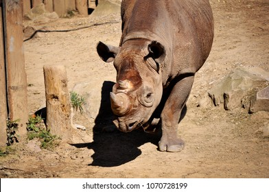 Rhinoceros at the Columbus, Ohio Zoo