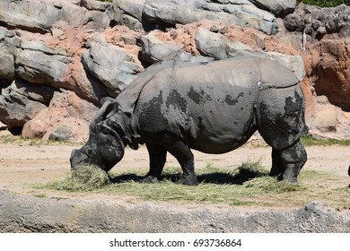 Rhinoceros eating hay in front of a rock wall.