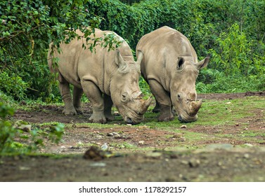 Rhinoceros, endangered and protected animal in Ujung Kulon, Indonesia.