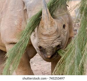 A rhinoceros feeding on a leafy branch