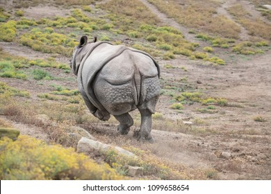 Rhinoceros fleeing from a fight