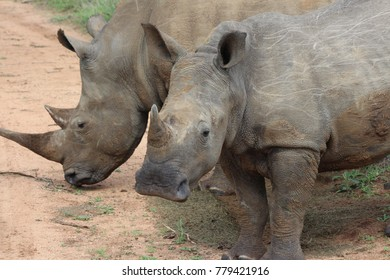 Rhinoceros found on safari near Kapama Lodge in South Africa