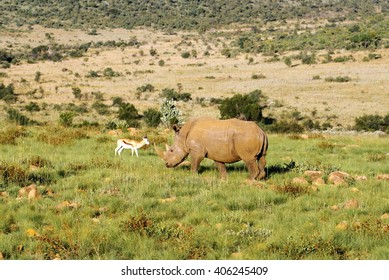 Rhinoceros grazing beside a red lechwe in the Pilanesberg Game Reserve