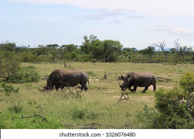 Rhinoceros grazing in natural habitat in the Kruger National Park, South Africa