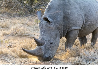 Rhinoceros in Greater Kruger National Park, South Africa