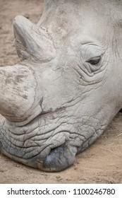 Rhinoceros head portrait