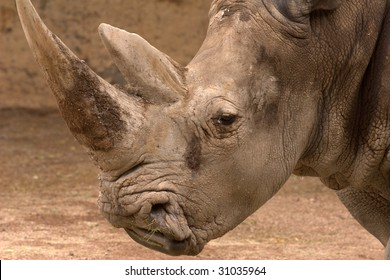 Rhinoceros head shot