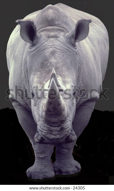 Rhinoceros, head-on view, dark neutral background