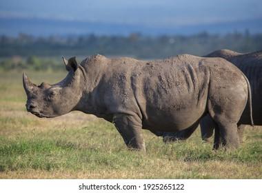 Rhinoceros in the heart of Africa