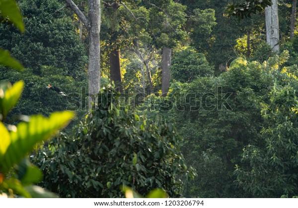 Rhinoceros Hornbill Buceros Rhinoceros Flying Through Stock Photo Edit Now 1203206794