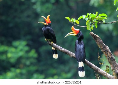 Rhinoceros Hornbill (Buceros rhinoceros) in Sumatra, Indonesia