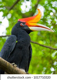 A rhinoceros hornbill with orange peak perching on a tree branch with blurry background effect.