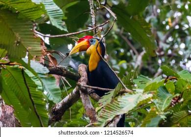 Rhinoceros Hornbill in a tree next to a jungle river in Borneo