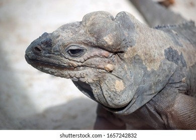 Rhinoceros Iguana profile close up