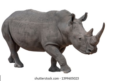 Rhinoceros isolated on white background.