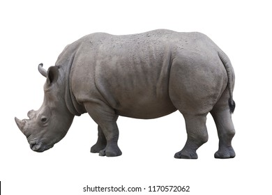 Rhinoceros isolated over white