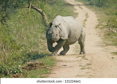 Rhinoceros in Kaziranga National Park. Indian rhinoceros species are endangered.