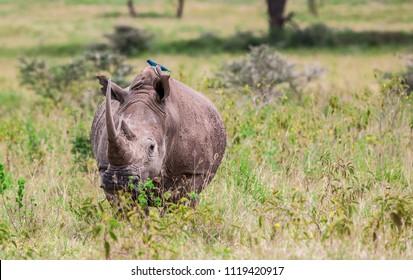 Rhinoceros in the Lake Nakuru National Park, Kenya