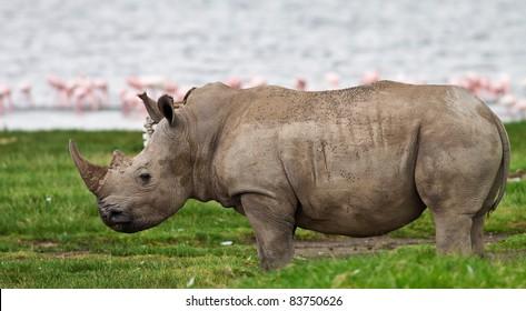 Rhinoceros in Lake Nakuru National Park, Kenya
