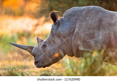 Rhinoceros in late afternoon, Kruger National Park
