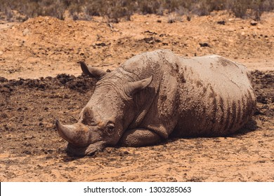 A Rhinoceros laying calm and relaxed in the brown sand