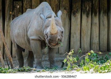 A rhinoceros looking at its food with an open mouth