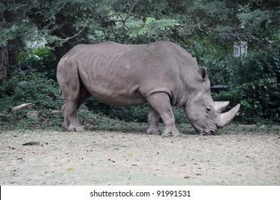 Rhinoceros at Mysore zoo, India