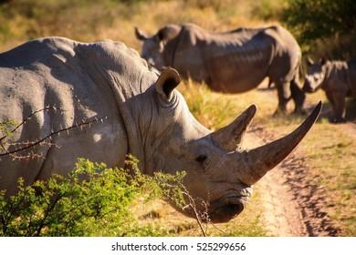Rhinoceros Namibia