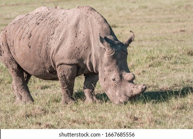 Rhinoceros photographed in South Africa