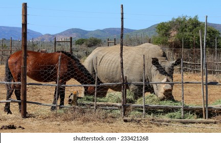 A rhinoceros / rhino and a horse together and friends in an enclosure.
