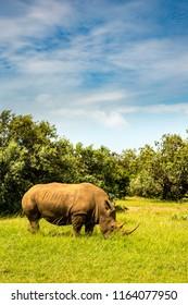 A rhinoceros (rhino) at the rhinoceros sanctuary near Lemek, Kenya, africa.