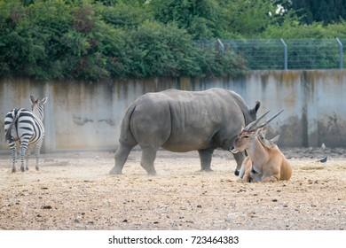 The rhinoceros (Rhinocerotidae), the zebra and the impala (Aepyceros melampus) antelope in Safari park Ramat Gan, Israel