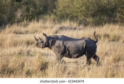 Rhinoceros in the savannah, Kenya. National Park. Africa. An excellent illustration.