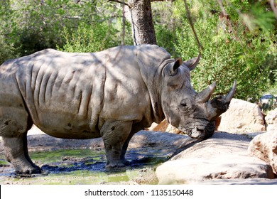 a rhinoceros standing in a puddle of water