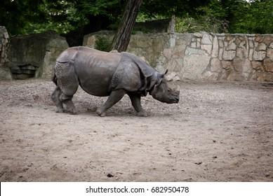 Rhinoceros walking along the runway of Wroclaw Zoo.