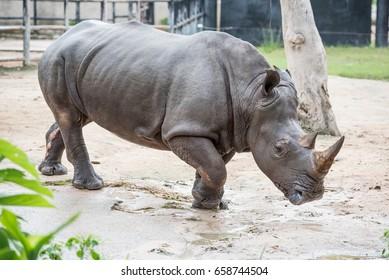 Rhinoceros walking in the open zoo.