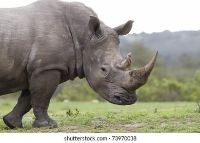 Rhinoceros White