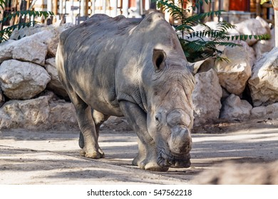 Rhinoceros in the zoo