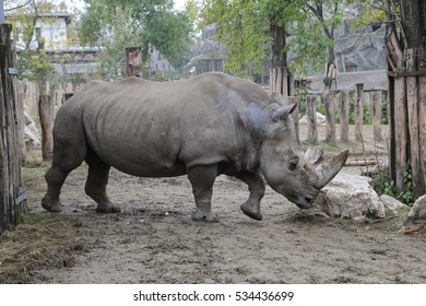 Rhinoceros in the Zoo of Budapest