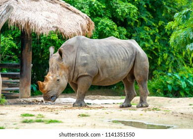rhinoceros in a zoo THAILAND