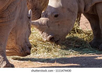Rhino's feeding on grass