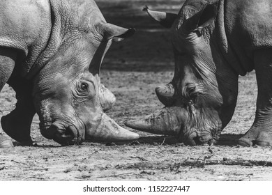 Rhinos fighting each other rare scene