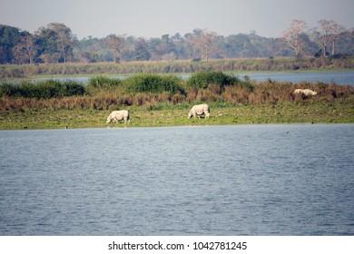 Rhinos and the Lake