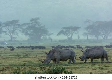 rhinos in the mist