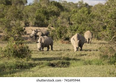 Rhinos in Ol Pejeta