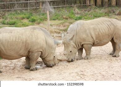 Rhinos standing in outdoor zoo habitat